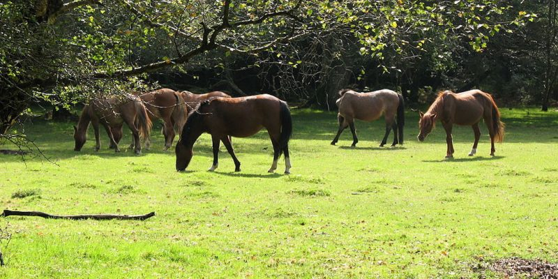 Photo of New Forest Ponies grazing