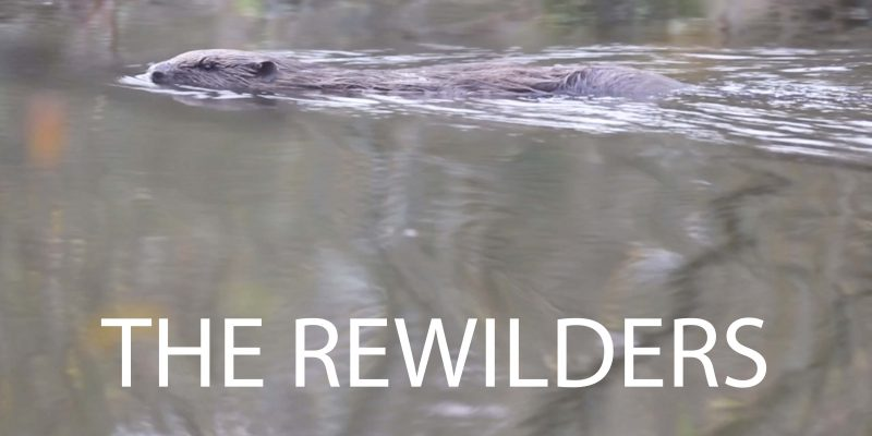a beaver swimming in a british river with the title the rewilders